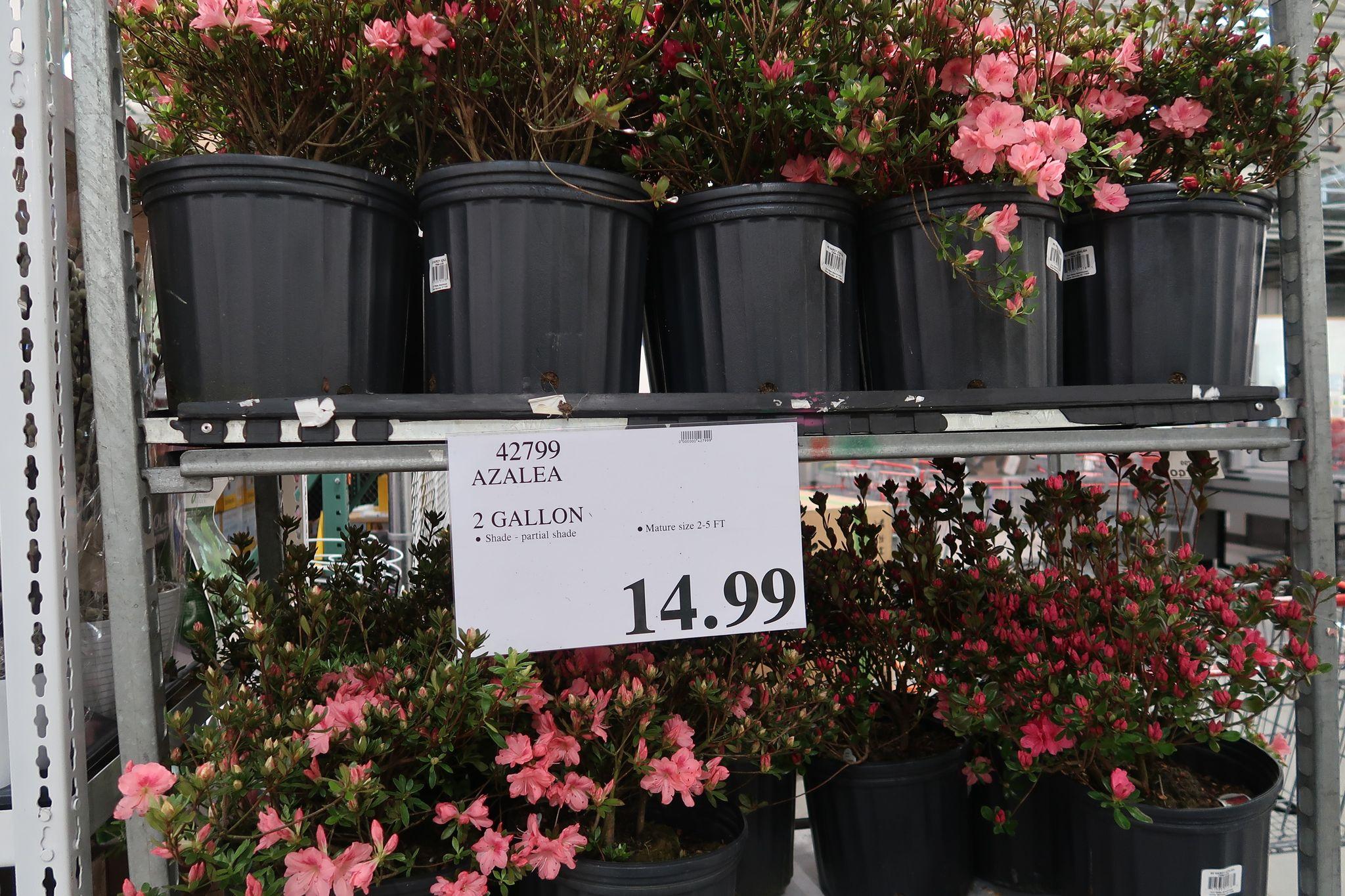 Azalea 2 Gallon Planters $14.99