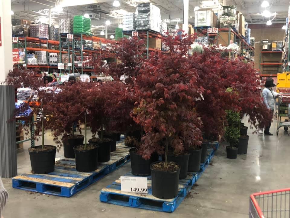 Bloodgood Japanese Maple Tree $149